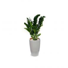 관엽식물-금전수-54